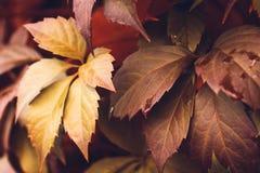 Autumn Virginia Creeper Foto de Stock Royalty Free