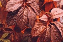 Autumn Virginia Creeper Photo libre de droits