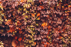 Autumn Virginia Creeper Stock Photography