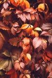 Autumn Virginia Creeper Imagens de Stock