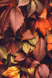 Autumn Virginia Creeper Fotografia Stock
