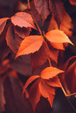 Autumn Virginia Creeper Fotos de Stock Royalty Free