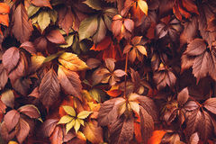 Autumn Virginia Creeper Foto de Stock Royalty Free