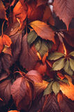 Autumn Virginia Creeper Imagem de Stock Royalty Free