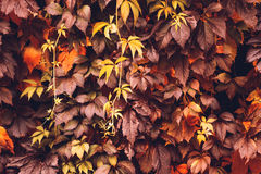 Autumn Virginia Creeper. Colorful Autumn Virginia Creeper, Wild Grape Background. Abstract Purple, Red and Orange Autumn Leaves Background. Purple Leaves Creeper Stock Photos