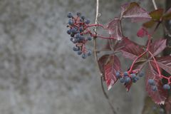 Autumn virginia creeper on a concrete wall background. The autumn virginia creeper parthenocissus on a concrete wall background Stock Images