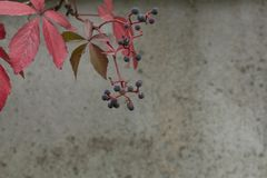 Autumn virginia creeper on a concrete wall background. The autumn virginia creeper parthenocissus on a concrete wall background Royalty Free Stock Photos