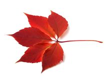 Autumn virginia creeper leaf Royalty Free Stock Photography