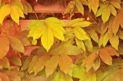 Autumn Virginia Creeper på staketet royaltyfri foto