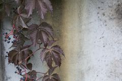 Virginia creeper on a concrete rusty wall background. The autumn virginia creeper parthenocissus on a concrete wall background Stock Photo