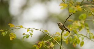 Ruby Crowned Kinglet Royalty Free Stock Photos