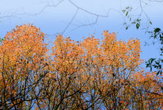 Autumn vivid maple leaves Stock Photography