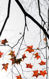 Autumn vivid maple leaves Royalty Free Stock Images