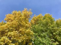 Autumn vs Summer yellow leaves green leaves. Autumn vs Summer, yellow leaves vs green leaves Royalty Free Stock Photo
