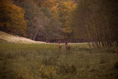Autumn walk. Two red deers walk together on autumn meadow closed to the forest Royalty Free Stock Photography