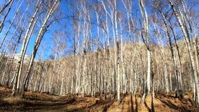 Autumn walk in a beautiful birch woods stock video