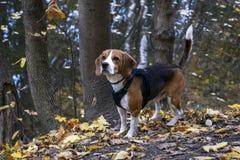 Autumn walk with a dog breed Beagle. stock image