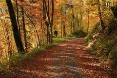 Autumn walk in a golden beech forest Stock Photo
