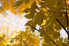Autumn. Walk. Park. Yellow leaves of autumn forest Royalty Free Stock Images