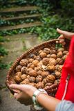 Autumn Walnut Collecting In Wicker Basket Cracked Halved In Bulk Stock Image