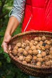 Autumn Walnut Collecting In Wicker Basket Cracked Halved In Bulk Royalty Free Stock Images