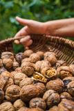 Autumn Walnut Collecting In Wicker Basket Cracked Halved In Bulk Royalty Free Stock Photo