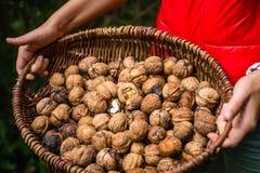 Autumn Walnut Collecting In Wicker-Korb geknackt halbiert in der Masse lizenzfreie stockfotos
