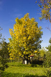 Autumn walnut tree Stock Photography