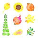 Water colored pear, sunflower, leaves, pumpkins on the white background. Autumn water colored elements of bright colors - yellow leaves, sunflower and pear Stock Photo
