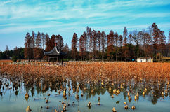 Autumn Water lily pads Royalty Free Stock Image