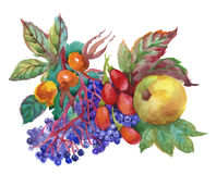 Autumn watercolor illustration with dogwood, apple and other fruits  on white background. Royalty Free Stock Image