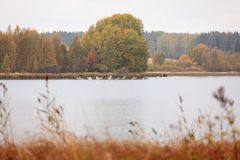 Autumn waterscape and swans. At lake stock images