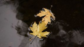 Autumn leaves. Autumn weather brings cooler temperatures and fall colors Royalty Free Stock Photography