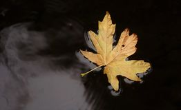 Autumn leaves. Autumn weather brings cooler temperatures and fall colors Royalty Free Stock Photos