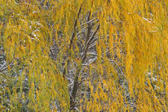 Autumn Weeping Willow Stock Photography