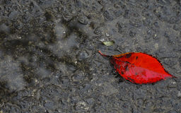 Autumn... wet leaf... Found this lonely leaf in such huge contrast with all gray around Stock Image