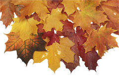 Autumn wet leaves isolated Stock Photography