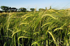 Autumn wheat field Royalty Free Stock Photo