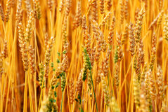 Autumn wheat field Royalty Free Stock Photo