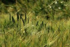 Autumn wheat field Stock Photos