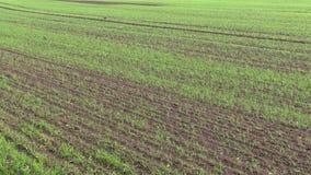 Autumn wheat field stock video