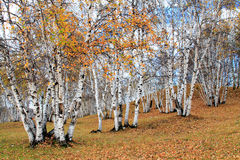 Autumn white birch Stock Photography