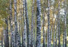 Autumn white birch royalty free stock image