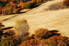 The autumn white birch and path on the meadow Stock Photo