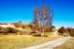 The autumn white birch and path Stock Photos