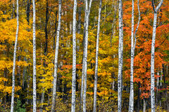 Autumn White Birch Wood Royalty-vrije Stock Afbeelding