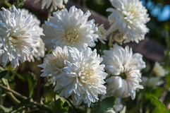 Autumn white chrysanthemums Royalty Free Stock Photo