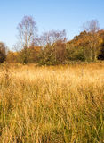 Autumn white coppice grasses Stock Images