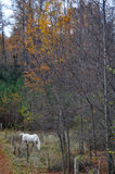 Autumn, White Horse grazing Royalty Free Stock Photos