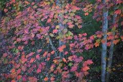 Autumn White Poplar Leaves Immagine Stock Libera da Diritti